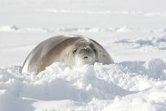 Guarnizioni di Crabeater che si trovano nella neve. Fotografia Stock