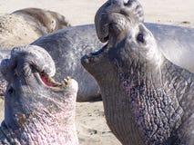 Guarnizioni di elefante Immagine Stock