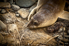Guarnizioni di elefante Fotografia Stock Libera da Diritti