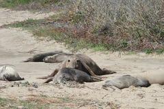 Guarnizioni di elefante ad Ano Nuevo Immagine Stock