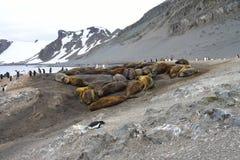 Guarnizioni di elefante antartiche Fotografia Stock