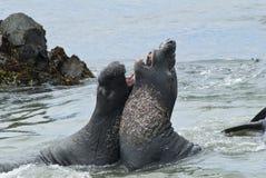 Guarnizioni di elefante che risparmiano sulla spiaggia Fotografie Stock