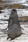 Guarnizioni di elefante del sud (leonina del Mirounga) Immagine Stock