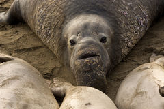 Guarnizioni di elefante nordiche (mirounga angustirostris) Immagine Stock