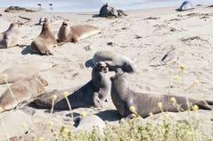 Guarnizioni di elefante sulla spiaggia Fotografie Stock Libere da Diritti
