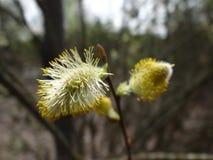 Guarnizioni di fioritura su un ramo sottile nel parco fotografie stock