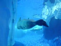Guarnizioni di nuoto Immagine Stock Libera da Diritti