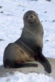 Guarnizioni di pelliccia che si siedono su una roccia sull'ANTARTIDE della spiaggia immagini stock