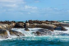 Guarnizioni di pelliccia del capo all'isola del Duiker, Sudafrica immagini stock