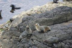 Guarnizioni di pelliccia della Nuova Zelanda sulle rocce Fotografia Stock