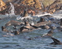 Guarnizioni di pelliccia, isola della guarnizione, Sudafrica Fotografie Stock