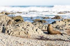 Guarnizioni di pelliccia prendere il sole nella costa della Nuova Zelanda Immagini Stock