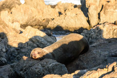 Guarnizioni di pelliccia prendere il sole nella costa della Nuova Zelanda Fotografia Stock Libera da Diritti