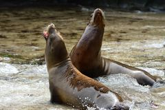 Guarnizioni di pelliccia sulla spiaggia di La Jolla Fotografia Stock Libera da Diritti