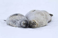 Guarnizioni di un Weddell del cucciolo grandi e della femmina che si trovano sul ghiaccio in Antar Fotografie Stock Libere da Diritti