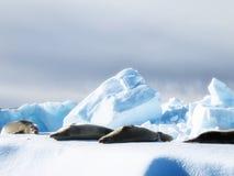 Guarnizioni di Weddell che prendono il sole Immagini Stock Libere da Diritti
