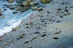 Guarnizioni grige sulla spiaggia della Cornovaglia Fotografia Stock Libera da Diritti