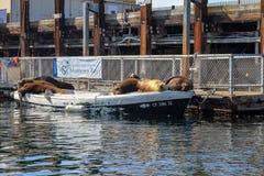 Guarnizioni o leoni marini che dormono su una barca attraccata fotografia stock