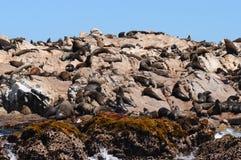 Guarnizioni sull'isola del tintoriale, Sudafrica Fotografie Stock