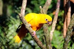 Guarouba di Guaruba - pappagallo brasiliano giallo Fotografie Stock