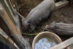 Guarro vietnamita joven en la yarda de granero Los pequeños cerdos alimentan en corral rural tradicional Imagen de archivo