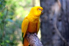 Guaruba guarouba - Żółta Brazylijska papuga obraz royalty free