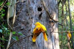 Guaruba guarouba - Żółta Brazylijska papuga obrazy royalty free