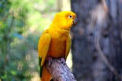 Guarubaguarouba - Gele Braziliaanse papegaai royalty-vrije stock afbeelding