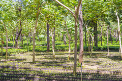 Guatemala coffee plantation Royalty Free Stock Image