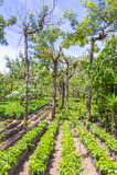 Guatemala coffee plantation Stock Photos
