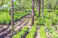 Free Guatemala Coffee Plantation Stock Photo - 58486510