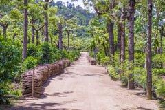 Guatemala coffee plantation Royalty Free Stock Photo