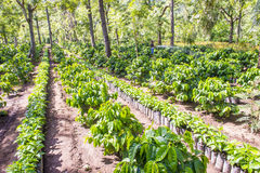 Guatemala coffee plantation Stock Photo