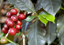 guatemala för kaffe 08 tree Fotografering för Bildbyråer