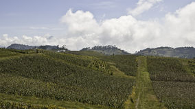 Guatemala - landscape with fields. Fields in the highland of guatemala Royalty Free Stock Image