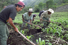 Guatemalan Indian men work together in corn field. Guatemala, department of Alto Verapaz, village Parachoch: mountain, highlands, around Coban, Poqomchi ` stock images