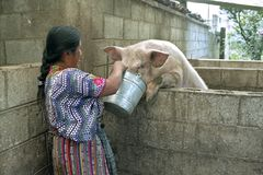 Guatemalan Indian woman feeds pig with leftovers royalty free stock photos