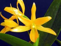 Guatemalensis van Guarianthe royalty-vrije stock foto's