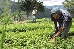 Guatemaltekische indische Männer, die in der Forstbaumschule arbeiten Stockfotografie