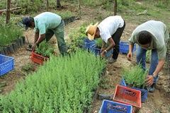 Guatemaltekische Mannarbeit im Aufforstungsprojekt Stockfotos
