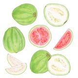 Guava изображение иллюстрации летания клюва декоративное своя бумажная акварель ласточки части Стоковое Изображение