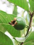 guava младенца Стоковое Фото