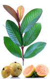 guava плодоовощ Стоковое фото RF