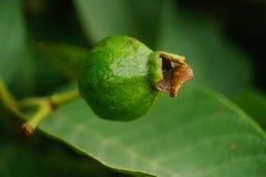 Guava растет на фруктовых дерев дерев Стоковое Фото