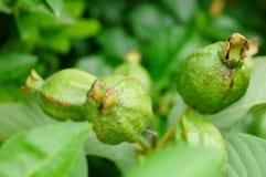 Guava растет на фруктовых дерев дерев Стоковые Изображения RF