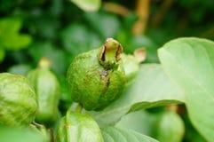 Guava растет на фруктовых дерев дерев Стоковые Фото