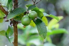 Guava Яблока или общие Guava, Psidium Guajava, Goiaba или Guayaba Стоковое фото RF