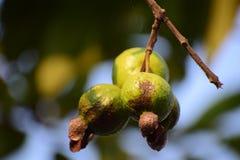 Guava fotografia stock