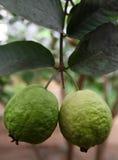 Guava Стоковое Изображение