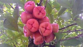 Guava Zdjęcie Royalty Free